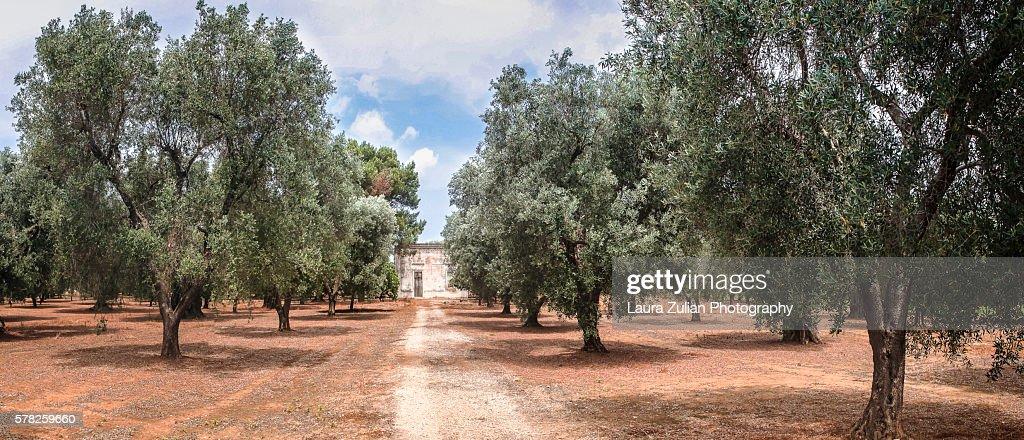 Olive grove in Apulia : Stock Photo