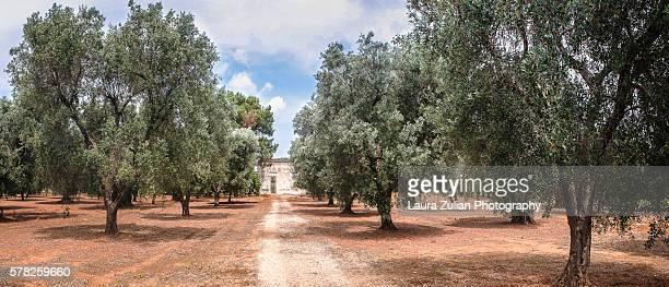 Olive grove in Apulia