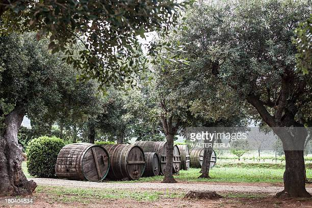 olive grove near marciana, elba island, italy - olive orchard stock photos and pictures