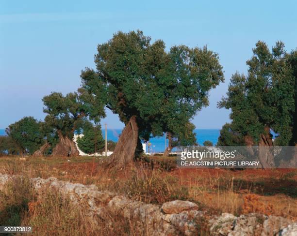 Olive grove near Ostuni Apulia Italy