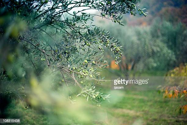 olive grove - olive branch stock pictures, royalty-free photos & images