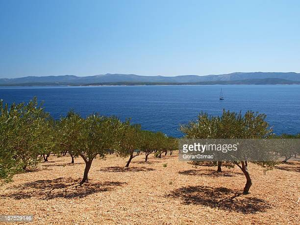 olive grove - olive orchard stock photos and pictures