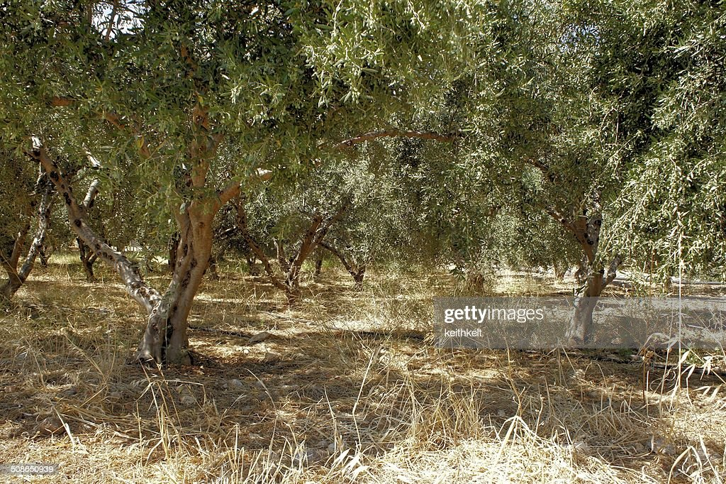 olive grove : Stock Photo
