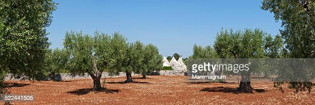 Olive grove with typical trullo near the town