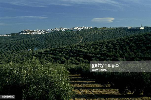Olive groves in Arjona Jaen Panoramic of the fields of olive trees with the town to the bottom