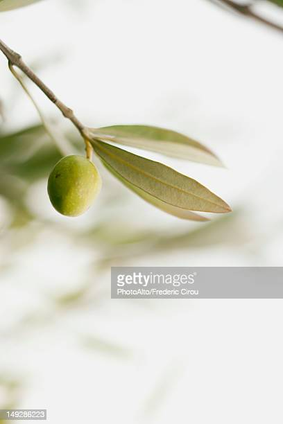 Olive growing on tree