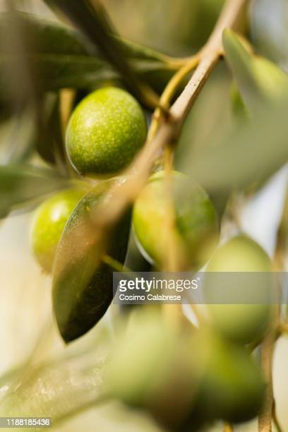 olive harvest in salento / apulia / italy - olive tree stock pictures, royalty-free photos & images