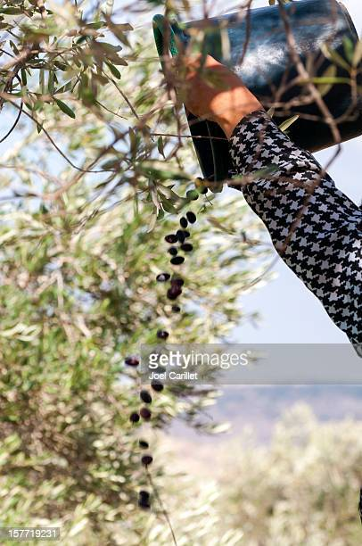 olive harvest in west bank village in palestine - palestinian stock pictures, royalty-free photos & images