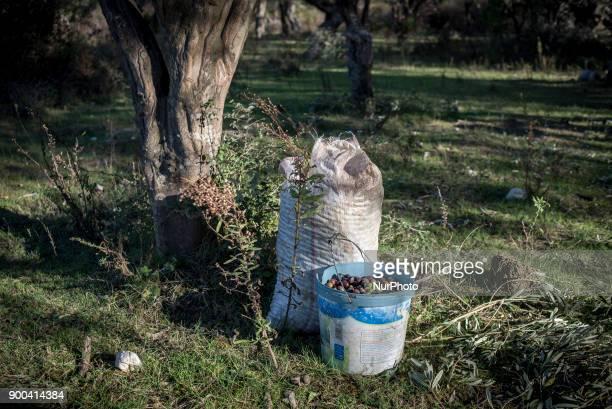 Olive harvest near Saranda Albania on December 31 2017