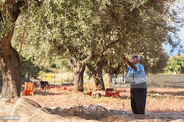 Olive harvest, near Tropea, Calabria, Italy