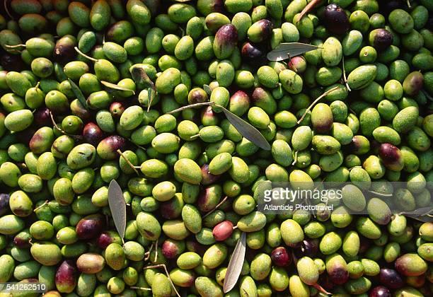 olive harvest - image foto e immagini stock