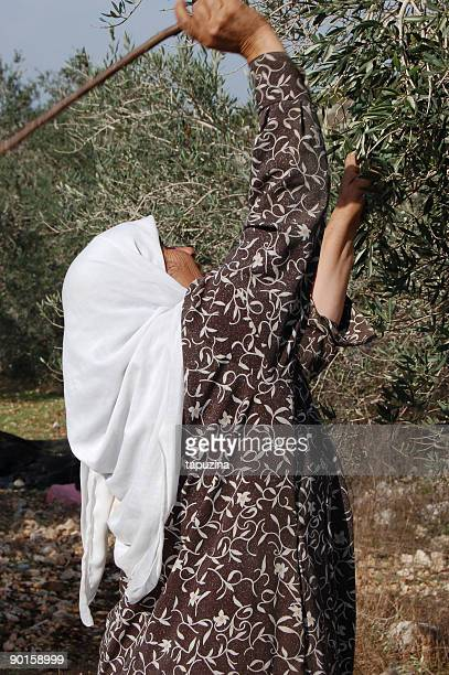 olive harvest - palestinian stock pictures, royalty-free photos & images