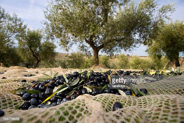 raccolta delle olive - olive orchard stock photos and pictures