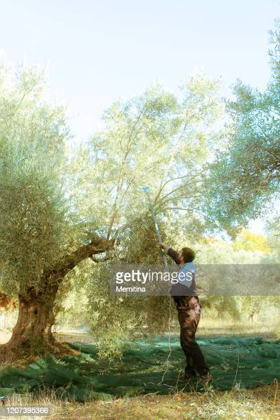 olive harvesting - kalamata olive stock pictures, royalty-free photos & images