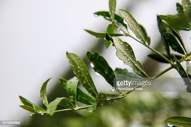 Olive leaf with dew drops