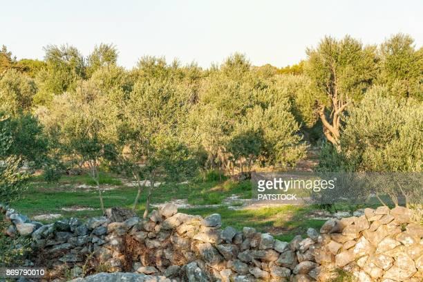 olive orchard - grove imagens e fotografias de stock