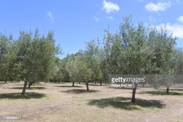 olive orchard tress - rafael ben ari stock-fotos und bilder
