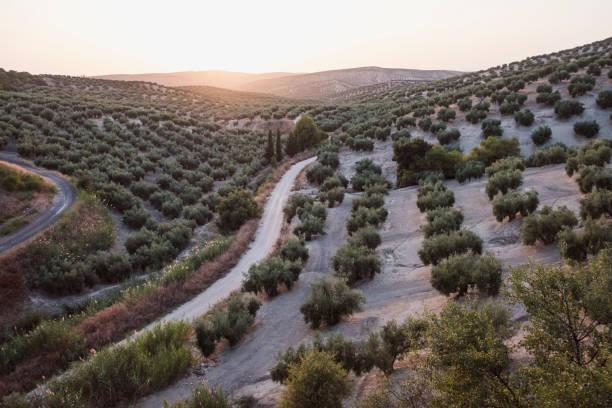Olive plantation in Jaén, summer, with green olives.