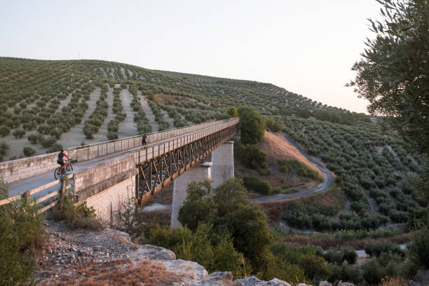 Olive plantation in Jaén, summer, with green olives. Railway bridge with anonymous cyclists in the background.