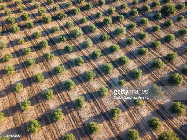 Olive plantation in Spain