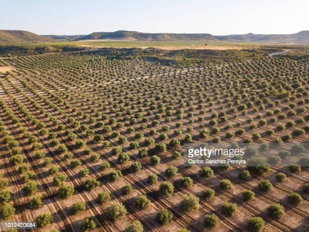 olive plantation in spain - レリダ県 ストックフォトと画像