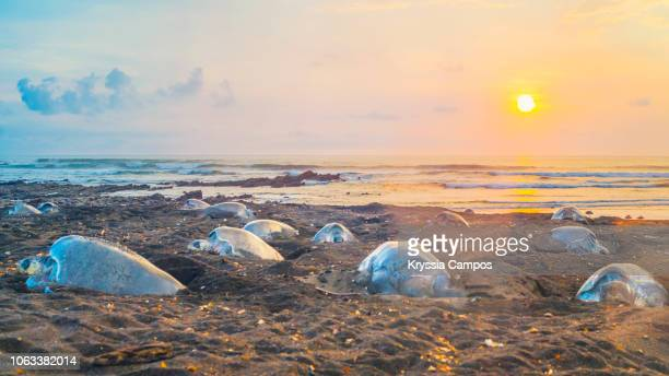 olive ridley sea turtle nesting on the beach at sunset, costa rica - hatching stock pictures, royalty-free photos & images