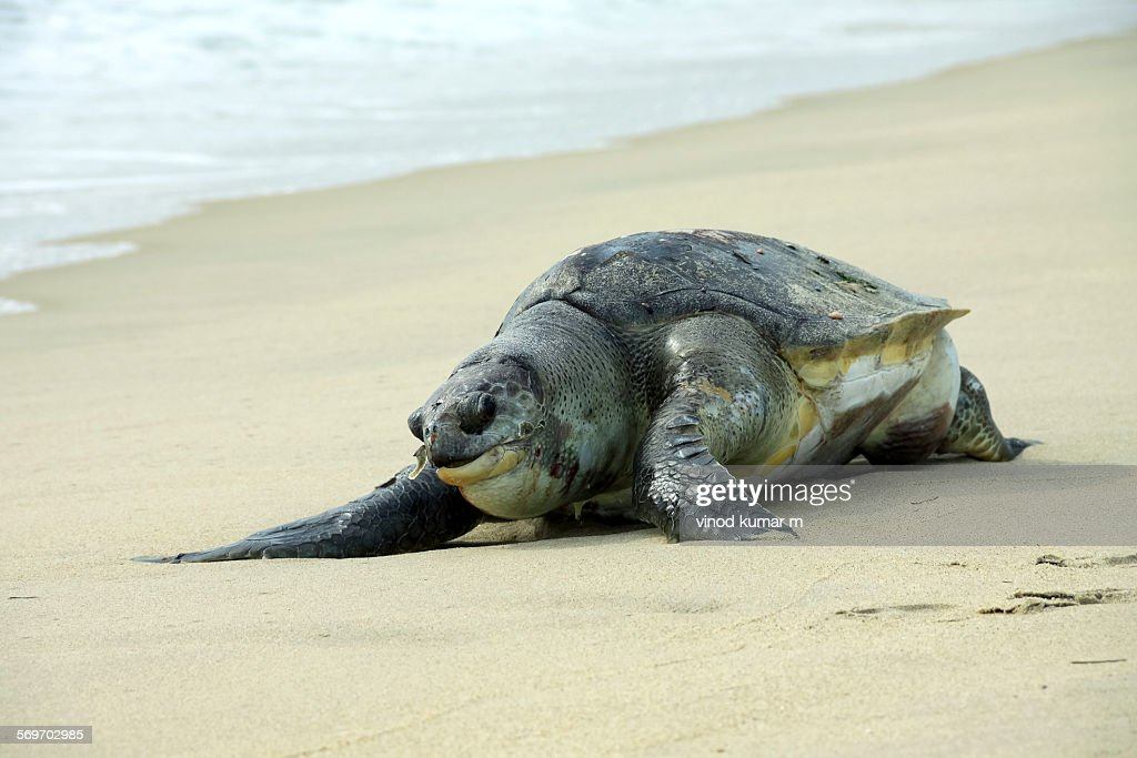 Olive Ridley Sea turtle : Stock Photo