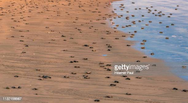 olive ridley sea turtles crawling down the beach towards the ocean - hatching stock pictures, royalty-free photos & images