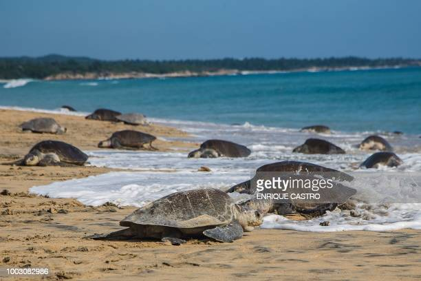Olive Ridley sea turtles known as Golfinas in Spanish are pictured at Ixtapilla Beach Michoacan State Mexico on July 20 2018 where they arrive to lay...