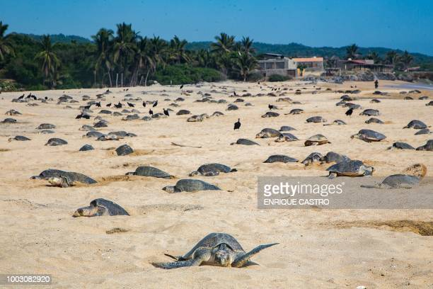 Olive Ridley sea turtles known as Golfinas in Spanish make nests to lay their eggs at Ixtapilla Beach Michoacan State Mexico on July 20 2018 Mass...