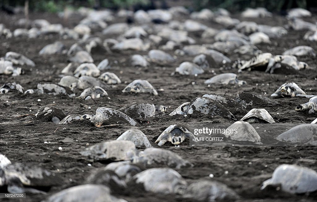 TO GO WITH AFP STORY - Olive ridley sea : News Photo