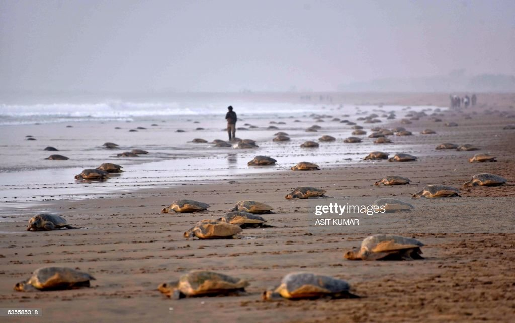 TOPSHOT - Olive Ridley Turtles (Lepidochelys olivacea) return to the sea after laying their eggs in the sand at Rushikulya Beach, some 140 kilometres (88 miles) south-west of Bhubaneswar, early February 16, 2017. Thousands of Olive Ridley sea turtles started to come ashore in the last few days from the Bay of Bengal to lay their eggs on the beach, which is one of the three mass nesting sites in the Indian coastal state of Orissa. /