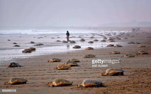 TOPSHOT Olive Ridley Turtles return to the sea after laying their eggs in the sand at Rushikulya Beach some 140 kilometres southwest of Bhubaneswar...