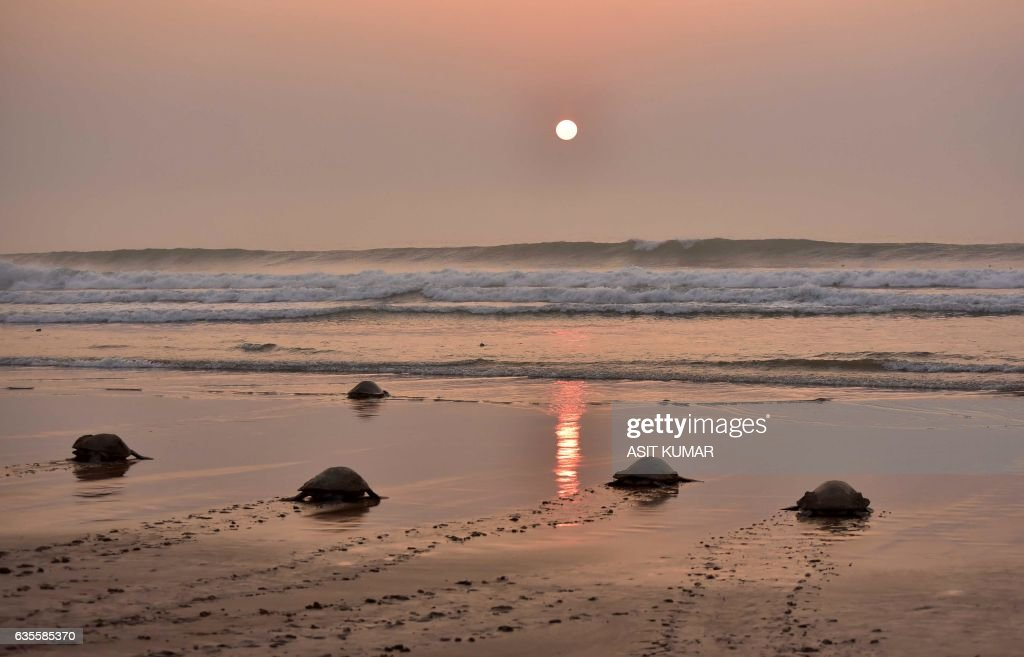 Olive Ridley Turtles (Lepidochelys olivacea) return to the sea after laying their eggs in the sand at Rushikulya Beach, some 140 kilometres (88 miles) south-west of Bhubaneswar, early February 16, 2017. Thousands of Olive Ridley sea turtles started to come ashore in the last few days from the Bay of Bengal to lay their eggs on the beach, which is one of the three mass nesting sites in the Indian coastal state of Orissa. / AFP / ASIT