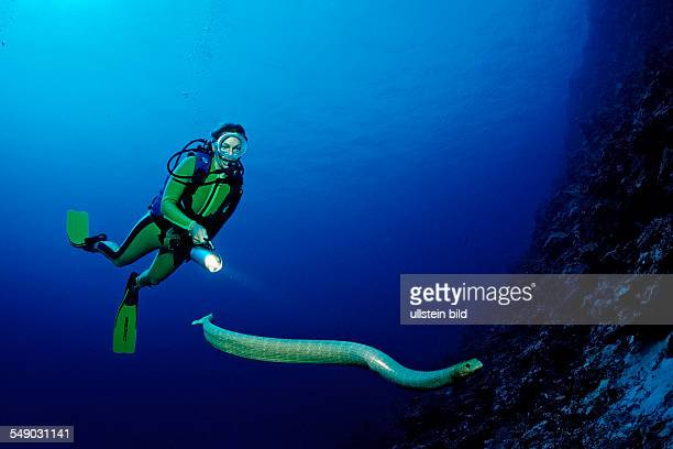 Olive sea snake and Scuba diver Hydrophiidae Papua New Guinea Pacific Ocean Coral Sea