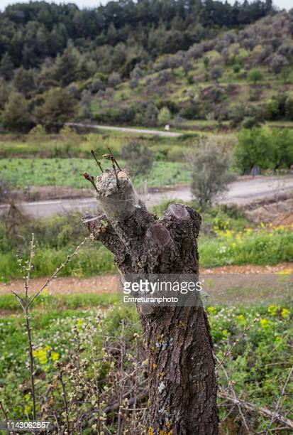 Olive shoot grafted to a trunk in Aegean Turkey.