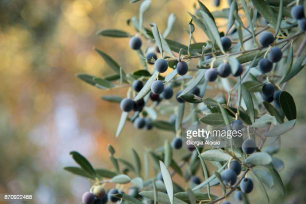olive sui rami dell'albero - olive orchard stock photos and pictures
