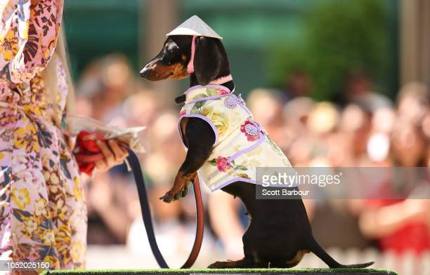 Olive the dachshund competes in The Best Dressed Dachshund Costume Competition during the annual Teckelrennen Hophaus Dachshund Race and Costume...