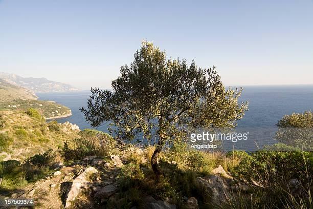 オリーブの木と青い海 - カンパニア州 ストックフォトと画像
