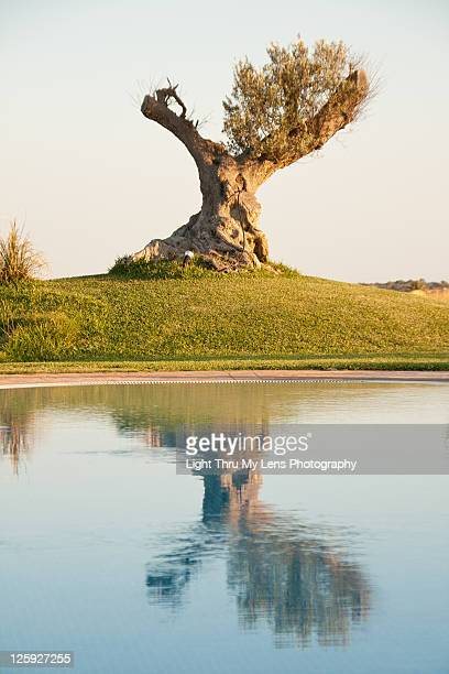 Olive tree and reflection in pool