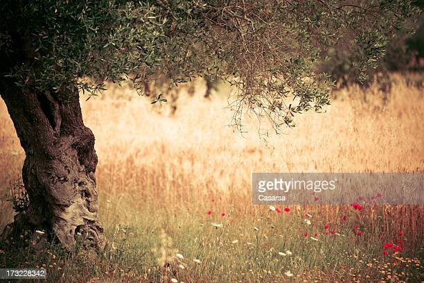 Olive tree and wheat field
