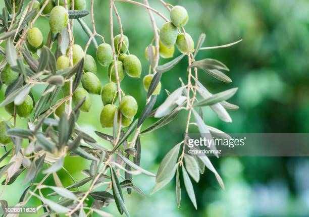 olive tree branch - olive stock pictures, royalty-free photos & images