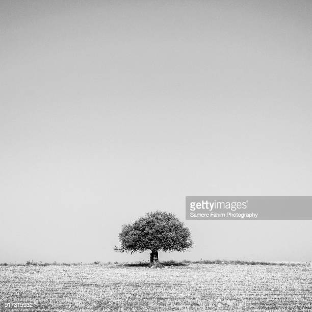 olive tree b&w - samere fahim stock photos and pictures