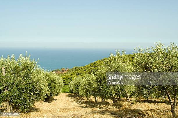 olive tree field in calabria, italy - calabria stock pictures, royalty-free photos & images