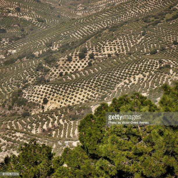 Olive tree fields in the Sierra de Cazorla Natural Park in Jaen, Andalusia, Spain