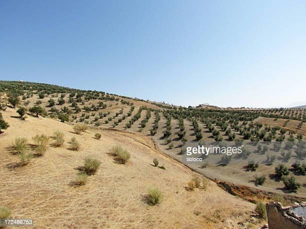 Olive Tree Felder
