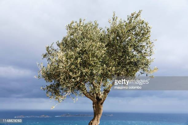 olive tree illuminated by the sun, cloudscape in background - olive tree stock pictures, royalty-free photos & images