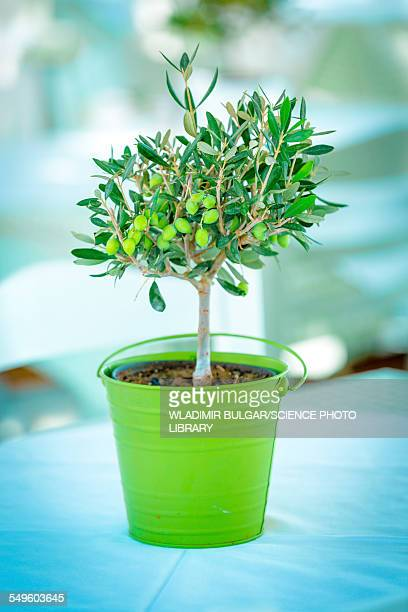 Olive tree in a green pot