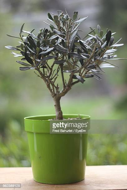 Olive Tree In Green Pot
