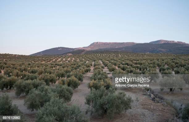 Olive tree in jaen province. Olives olive oil production.